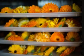 in the dehydrator set to RAW temps so as not to over heat the flowers