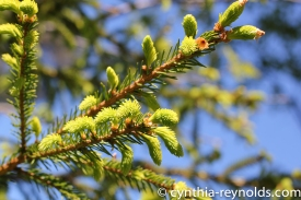 tender shoots fo spruce