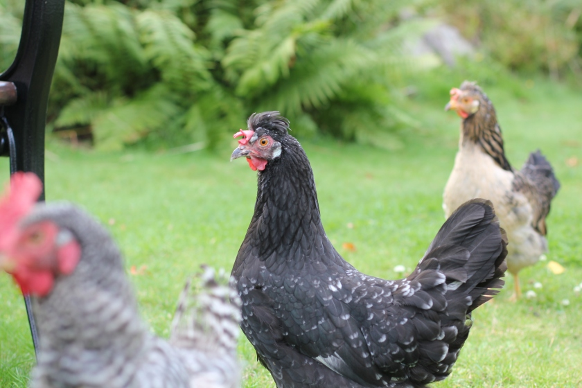 left, Plymouth Rock, middle and right Icelandic hens
